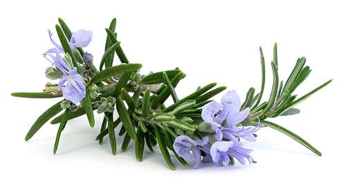 گیاهان-ادویه-ای-را-بهتر-بشناسیم-4